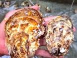 獐子岛珍蚝三倍体技术推进牡蛎产业新变革