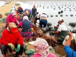 三倍体牡蛎引领牡蛎产业健康可持续发展